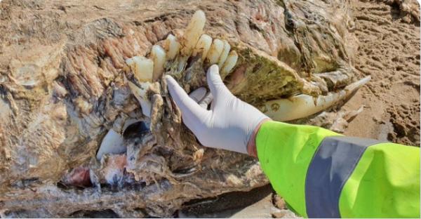کشف موجود دریایی مرموز به طول 7 متر در انگلستان
