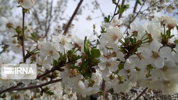 خبرنگاران بهاری رویایی در شهر شکوفه های گیلاس و آلبالو